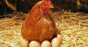 البيض والسالمونيلا... كيف نحمي أنفسنا وعائلتنا