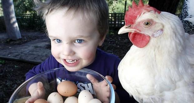 ما رأيكم باستئجار دجاجة