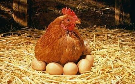 البيض الأبيض أو الأحمر؟